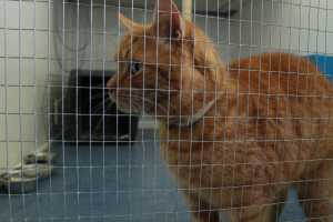 ginger cat in cattery
