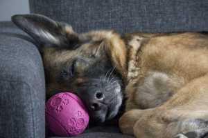 Dog asleep on sofa