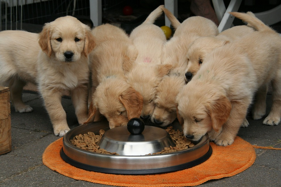 golden-retriever-puppy-2706672_960_720