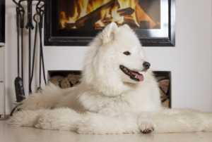 Fluffy white dog