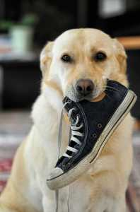 dog with a shoe